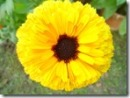 Calendula_Brown