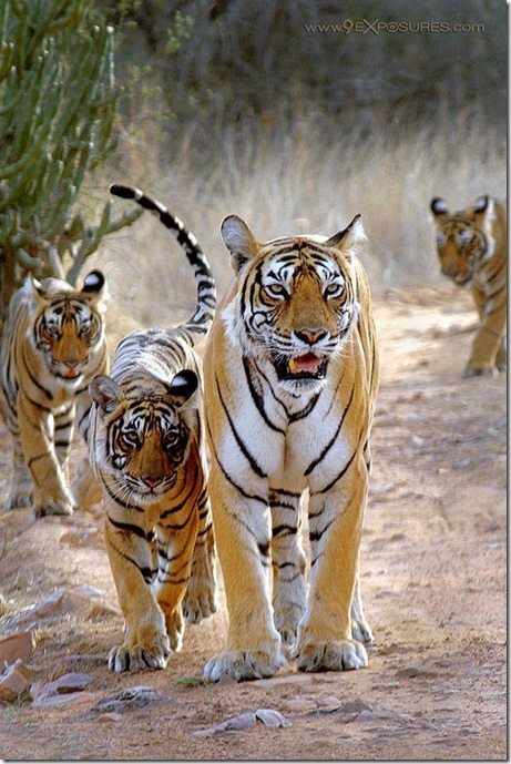 bengaltigers-@protect_wildlife